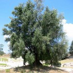 una delle mie piante di ulivo